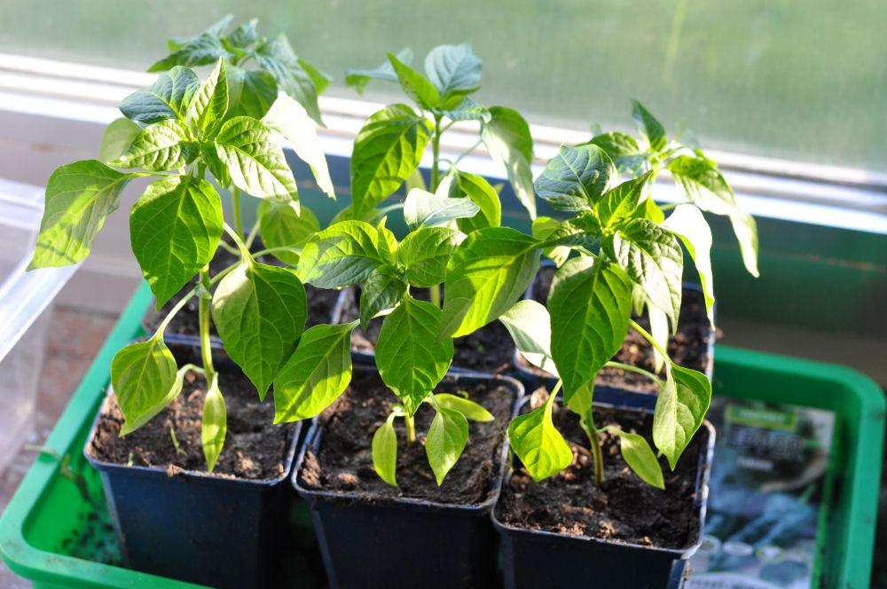 Chilizucht Chilizucht  – Tipps & Tricks zum Chilianbau-chilizucht-Chilizucht10
