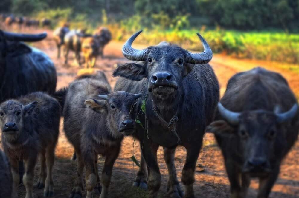 Wasserbüffel büffelfleisch-Bueffelfleisch Bueffel Bill 16-Büffelfleisch – Mehr als eine Alternative zu Rindfleisch?